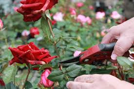 deadheading your roses