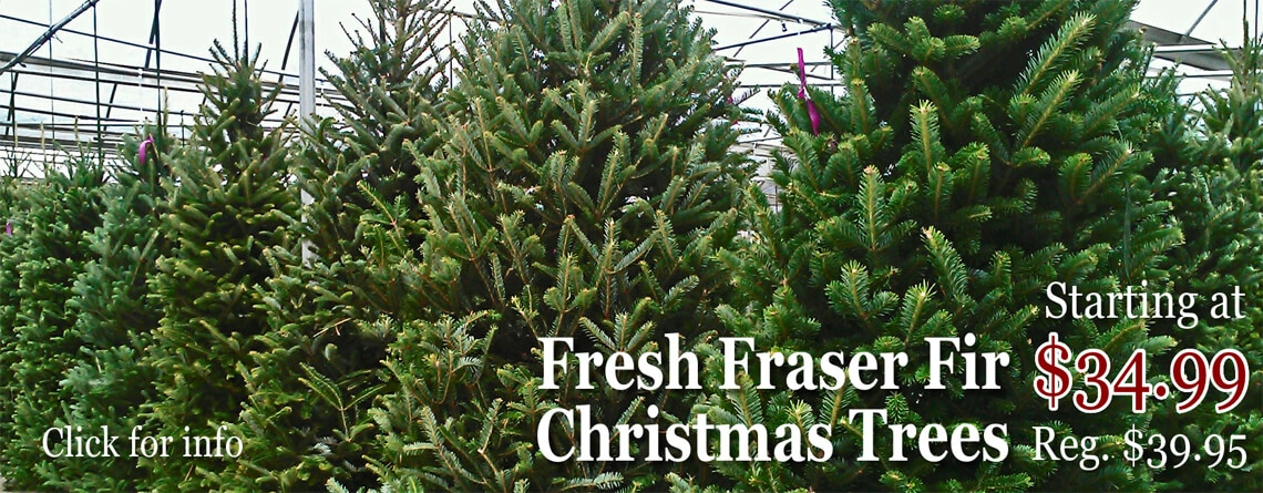 fraser-firs-christmas