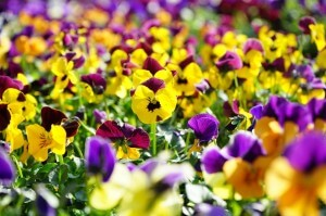 Purple, yellow pansies