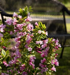 Weigela_Rainbow-Sensation_235x250