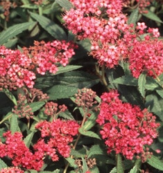 fw_plant_spiraea_anthony_waterer