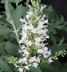 Buddleia_Flutterby_Snow_White_235x250