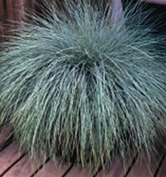 Festuca_Beyond_Blue_235x250