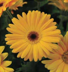 gerber daisy revolution yellow