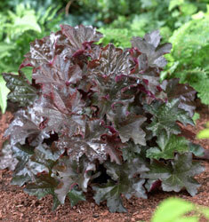 Heuchera_Palace_Purple_235x250