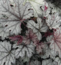 heucherella cracked ice