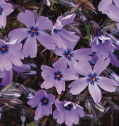 phlox purple beauty