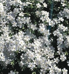 Phlox_White_Delight_235x250