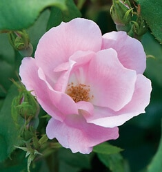 The-Blushing-Knock-Out-Rose_235x250