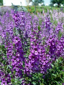 angelonia.serena.purple2
