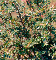 fw_plant_cotoneaster_tom_thumb
