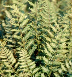fw_plant_fern_japanese_painted