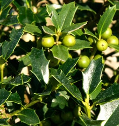 fw_plant_holly_christmas_jewel