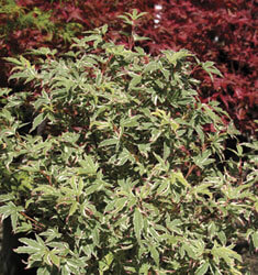 fw_plant_japanese_maple_butterfly