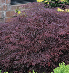 fw_plant_japanese_maple_red_select