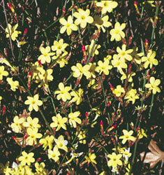 fw_plant_jasmine_winter
