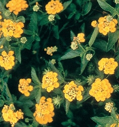 fw_plant_lantana_new_gold