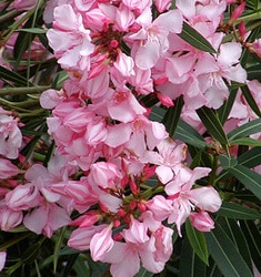 fw_plant_oleander_sealy_pink