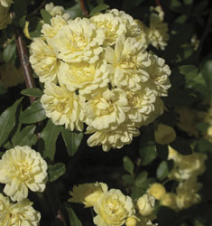 fw_plant_rose_yellow_lady_banks