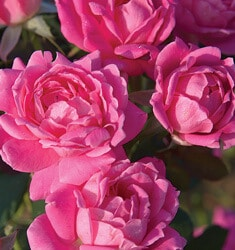 knock_out_rose_pink_double_knock_out