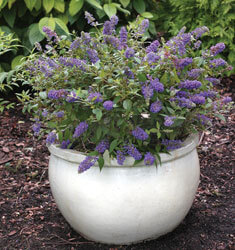 southern_living_buddleia_lo_n_behold