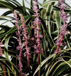 southern_living_plants_liriope_variegated_marc_anthony