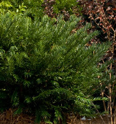 southern_living_plants_plum_yew_yewtopia