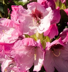southern_living_plants_rhododendron_southgate_radiance