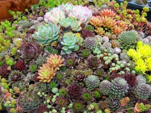 Succulents come in many colorful varieties