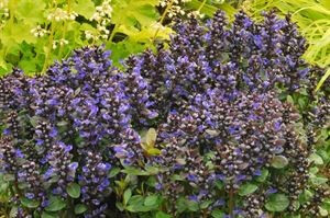 0ajuga-reptans-blueberry-muffin-pp22092-45-pot10-count-flat-current-status-na_300