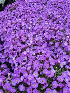 aubrieta-hybrida-blue-with-eye-pp18468-45-pot10-count-flat-current-status-na_300