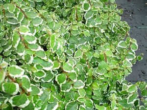ficus-pumila-variegata-variegated-creeping-fig-45-pot10-count-flat-current-status-xltd-gc_300