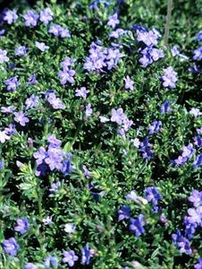 lithodora-diffusa-grace-ward-45pot10-count-flat-current-status-na_300