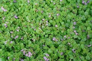 mentha-requienii-corsican-mint-45pot10-count-flat-current-status-na_300