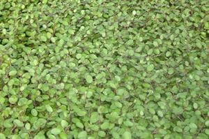 muehlenbeckia-axillaris-creeping-wirevine-45-pot10-count-flat-current-status-na_300