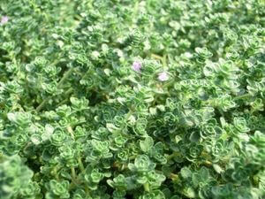 0000121_thymus-serpyllum-pink-chintz-thyme-45pot10-count-flat-current-status-na_300