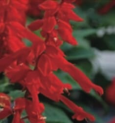 salvia saucy red