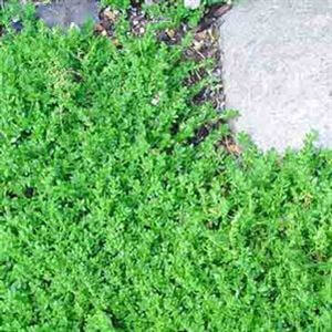 sedum-requieni-45pot10-count-flat-current-status-na_300