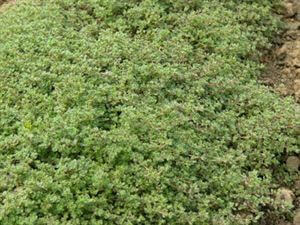 thymus-pseudolanuginosus-wooly-thyme-45pot10-count-flat-current-status-na_300