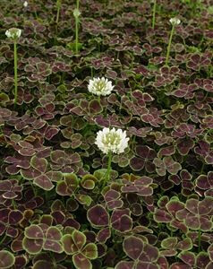 trifolium-repens-atropurpureum-bronze-dutch-clover-45pot10-count-flat-current-status-gc_300