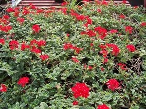 verbena-peruviana-creeping-red-45pot10-count-flat-current-status-na_300