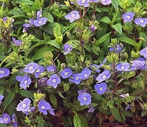 veronica-peduncularis-georgia-blue-45pot10-count-flat-current-status-ls_300