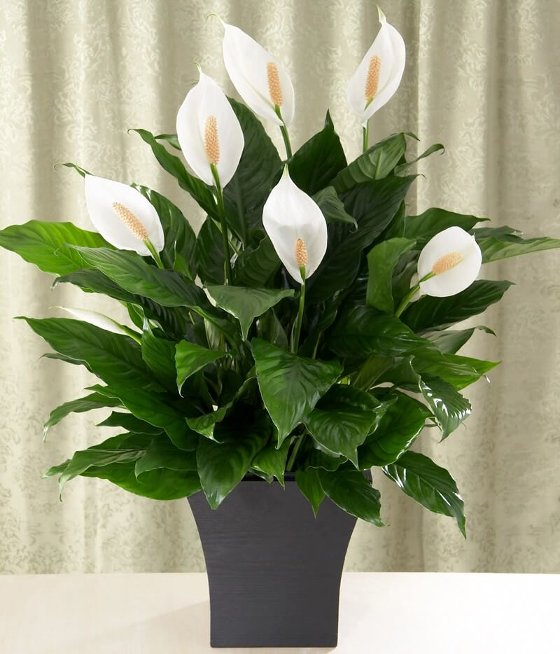 Peace lily for Easy to take care of houseplants