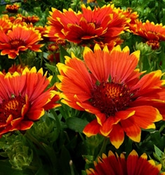gaillardia sunset flash