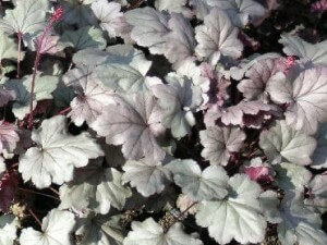 heuchera stainless steel