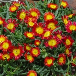 delosperma wheels of wonder fire wonder