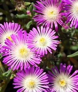 delosperma wheels of wonder violet wonder