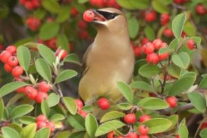 waxwing-fruit-tree