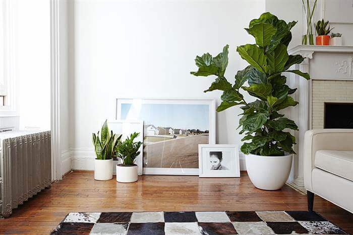 fiddle leaf fig interior design dream plant