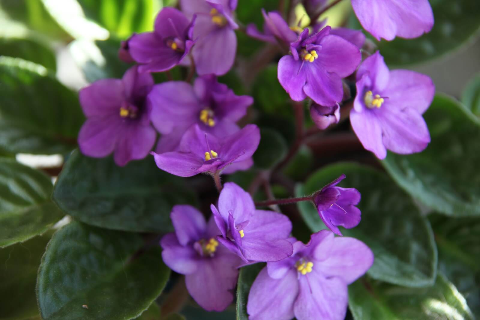 African Violet Day: February 8th!